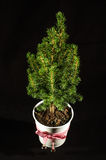 Small fir in the pot  on the black background Royalty Free Stock Photos