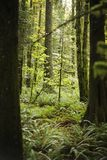 a Small Fir Sapling in the dense green lush forest Stock Photography