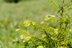 Small fir-tree. Close up small fir-tree. Sprouts on a fir-tree. New needles on a fir-tree Stock Images