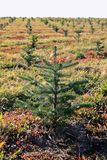 Small fir tree Royalty Free Stock Photo