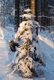 A small fir tree. Lighted a small fir tree in winter forest Royalty Free Stock Photos