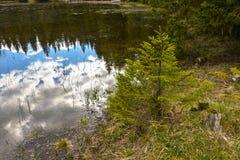 Small fir tree near the pond, Montenegro Royalty Free Stock Photos