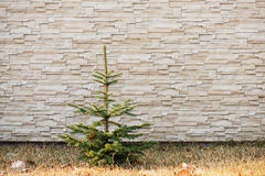 Small fir tree on wall with pattern. Small fir tree on wall with pattern from lite brown decorative slate stone wall surface Royalty Free Stock Photography
