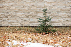 Small fir tree on wall with pattern. Royalty Free Stock Image