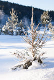 A small fir tree Royalty Free Stock Images