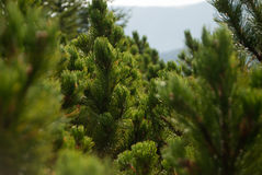 Small fir trees Stock Image