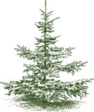 Small fir Royalty Free Stock Image