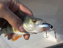 Small fish. The small fish has swallowed the big bait Royalty Free Stock Photo