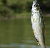 Small fish Stock Photography