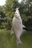 Small fish Royalty Free Stock Photos