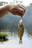 Small fish. Small sun fish on the hook Stock Photography