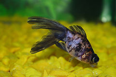 Small is fish. Fish in aquarium royalty free stock image