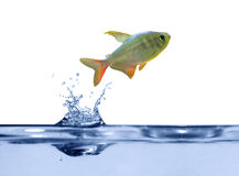 Small fish above blue water Stock Photos