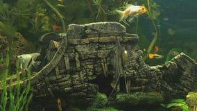 Small fish into aquarium. Close-up. Small fish into aquarium. Sea life. Close-up stock footage