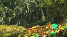 Small fish into aquarium. Close-up stock video footage
