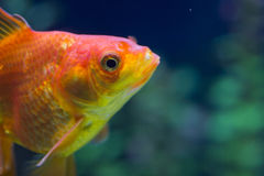 Small fish in an aquarium Royalty Free Stock Photos