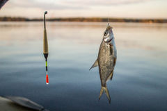 small fish bream on the hook with bobber Stock Image