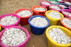 Small fish in colorful bucket. For feed mill industry Stock Images