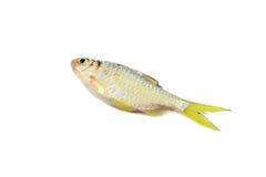 Small fish - Cyprinidae Royalty Free Stock Image