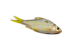 Small fish - Cyprinidae Royalty Free Stock Photo