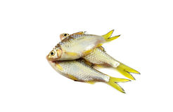 Small fish - Cyprinidae Royalty Free Stock Images