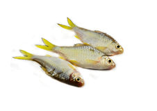 Small fish - Cyprinidae Stock Photo