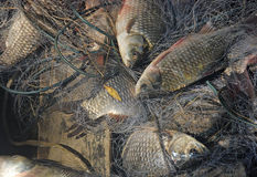 The small fish, dolls, caught in the net Stock Images
