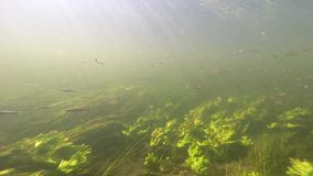 Small fish and fry swim under water in clear water. The sun`s rays pass through the water column. visible algae and underwater vegetation. Shooting under water stock footage