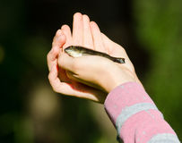 Small fish in girls hands Royalty Free Stock Photo