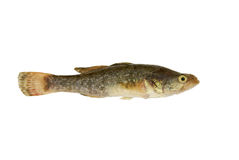 Small fish isolated. On white background Royalty Free Stock Photo