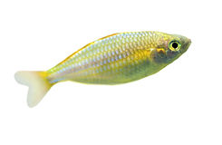 Small fish isolated on white Royalty Free Stock Photography