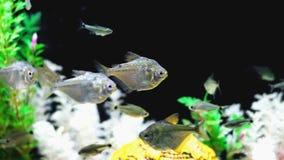 Small fish known as Saia Branca, Poptella Paraguayensis.  Stock Photo