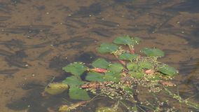 Little fish in the lake stock footage