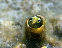 Small fish of Lance Blenny (Aspidontus dussumieri) Royalty Free Stock Photo