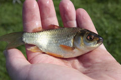 Small fish in man's hand. Small live carp fish in man's hand Royalty Free Stock Photos