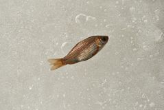 Small fish on melting ice of the pond, bubbles water texture. Top view royalty free stock photos