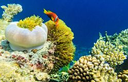 Small fish in an ocean. Small yellow fish in the Indian Ocean, Maldives Royalty Free Stock Photos