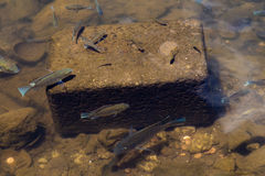 Small fish Royalty Free Stock Image