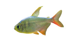 Small fish with red fin. Small fish isolated on white background royalty free stock image