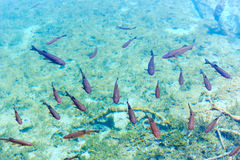 Small fish shoal in azure lake Royalty Free Stock Photo