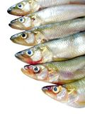 Small fish (smelts) Stock Photography