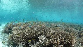 Colorful Fish and Corals in Raja Ampat. Small fish swim above healthy corals in the shallows of Raja Ampat, Indonesia. This region is known as the `heart of the stock video