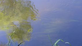 Small fish swim against the current in the river. Small fish in the river swim against the current against the background of the reflected sky and trees, as well stock video footage