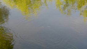 Small fish swim against the current in the river. Small fish in the river swim against the current against the background of the reflected sky and trees, as well stock video