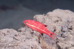 Small Fish swimming over a rock Stock Photos