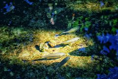 Small fish swimming in the sunlight Royalty Free Stock Images