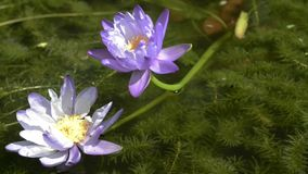 Small fish swimming under two lotus. Closeup stock footage
