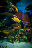 Small fishes in aquarium; Stock Images