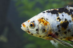 Small fishes in an aquarium Royalty Free Stock Image