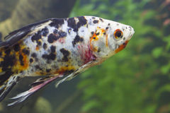 Small fishes in an aquarium Stock Photography